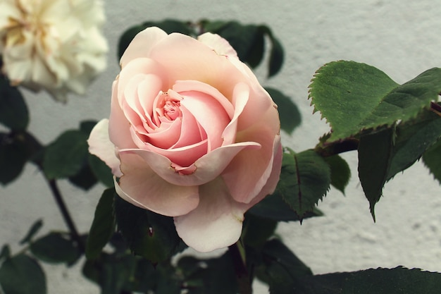 Close de uma linda rosa no jardim