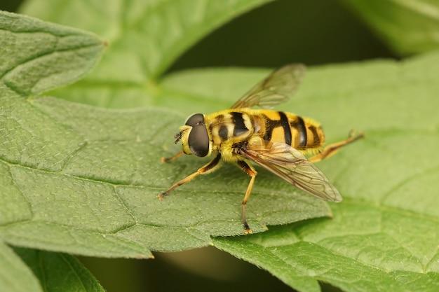 Close de uma mosca do batman nas folhas verdes do jardim (myathropa florea)
