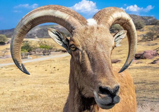 Close de uma ovelha barbary em uma paisagem montanhosa árida
