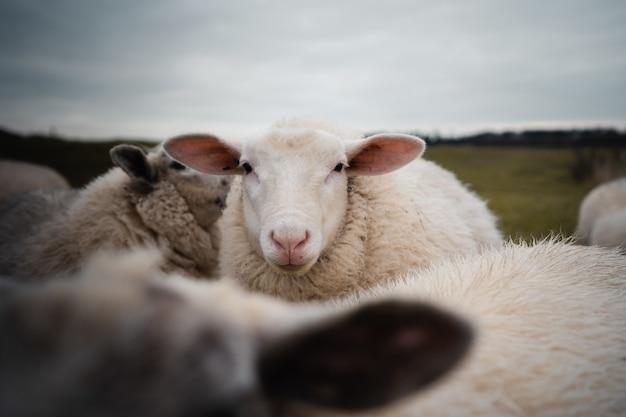 Close de uma ovelha branca com orelhas engraçadas
