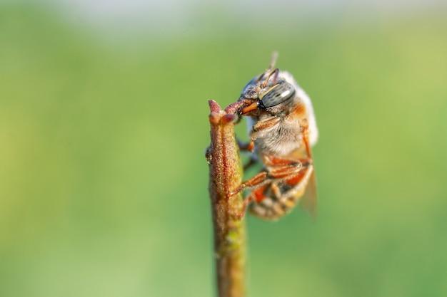 Close de uma pequena abelha empoleirada em um junco