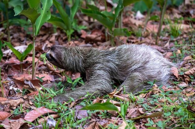 Close de uma preguiça de dois dedos no chão coberta de folhas e grama sob a luz do sol durante o dia