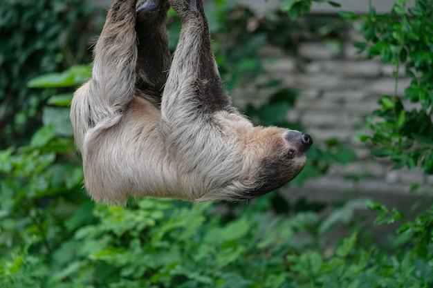 Close de uma preguiça de dois dedos pendurada em uma corda cercada por vegetação em um zoológico