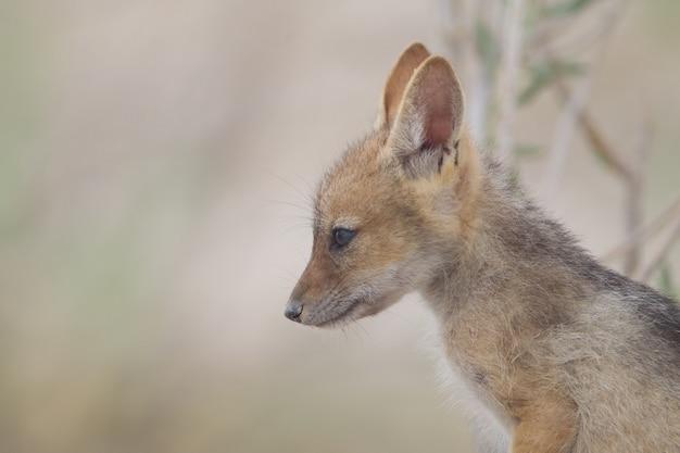 Close de uma raposa bebê olhando à distância
