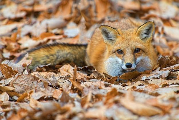 Close de uma raposa fofa deitada no chão com folhas caídas de outono