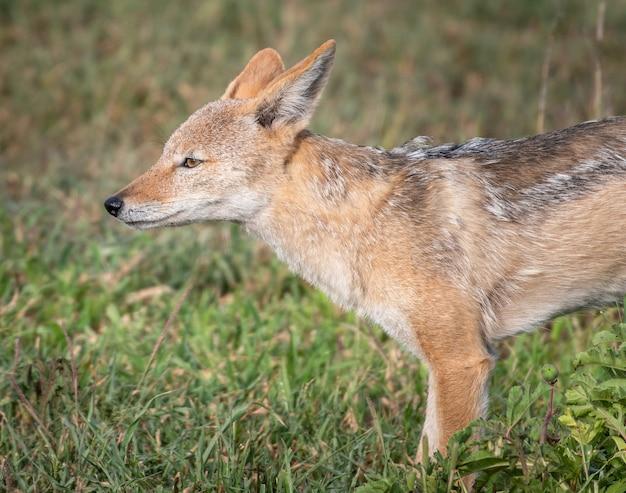 Close de uma raposa vermelha em um campo coberto de vegetação sob a luz do sol com um fundo desfocado