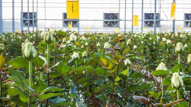 Close de uma rosa em um fundo floral desfocado em uma estufa