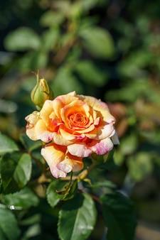 Close de uma rosa fofa sob a luz do sol