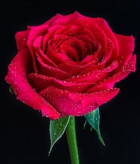 Close de uma rosa vermelha com orvalho no topo em um preto