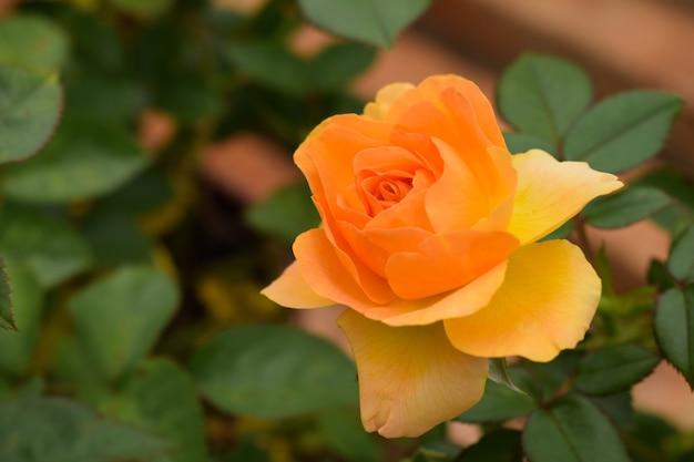 Close de uma rosa