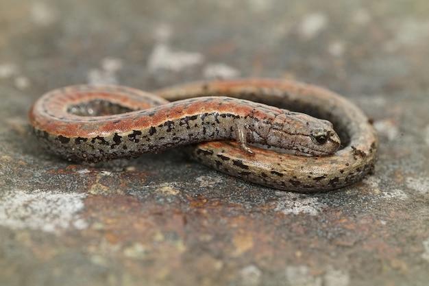 Close de uma salamandra esguia da califórnia entre um fundo desfocado