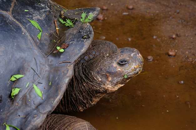 Close de uma tartaruga agarrando, olhando para a câmera na água