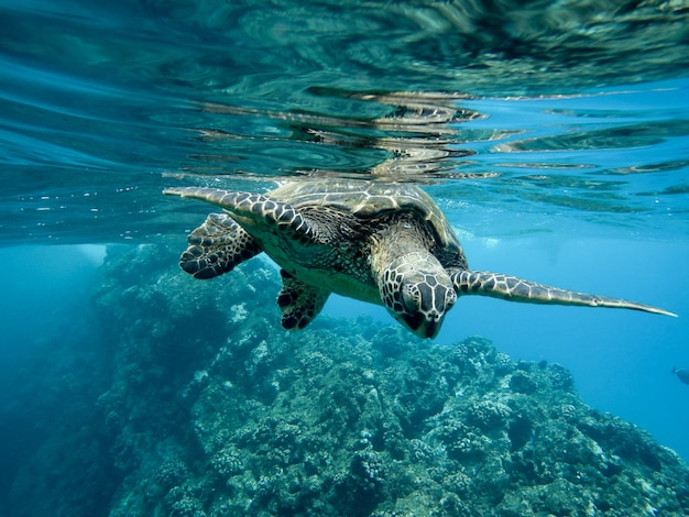 Close de uma tartaruga marinha verde nadando embaixo d'água sob as luzes