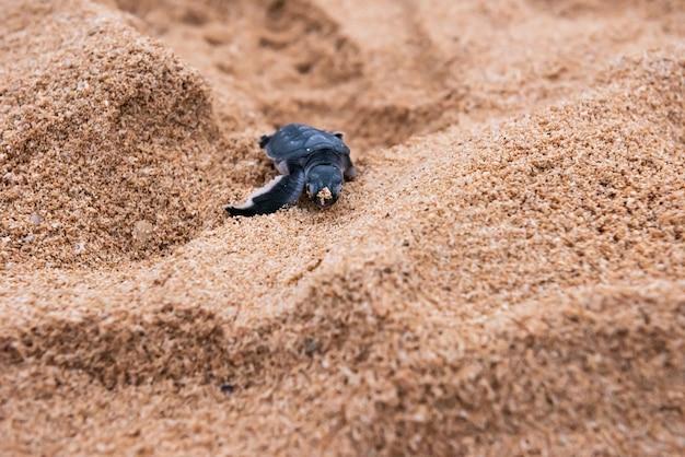 Close de uma tartaruga verde recém-nascida bonita com grãos de areia no rosto, caminhando na areia. ilha de iriomote.
