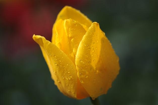 Close de uma tulipa amarela coberta de gotas de chuva em um campo sob a luz do sol