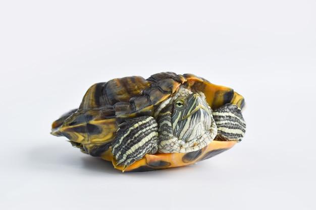 Close de uma única tartaruga de orelhas vermelhas em uma superfície branca