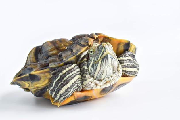 Close de uma única tartaruga redeared em uma superfície branca dia mundial da tartaruga, 23 de maio