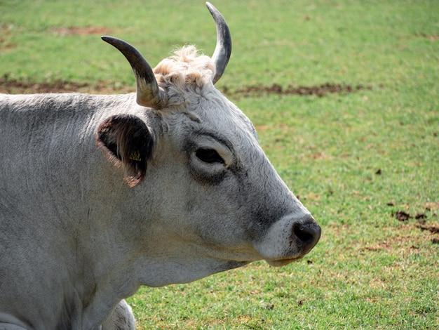 Close de uma vaca adulta em uma fazenda