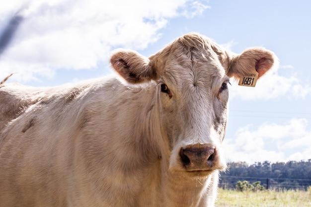 Close de uma vaca branca em uma fazenda