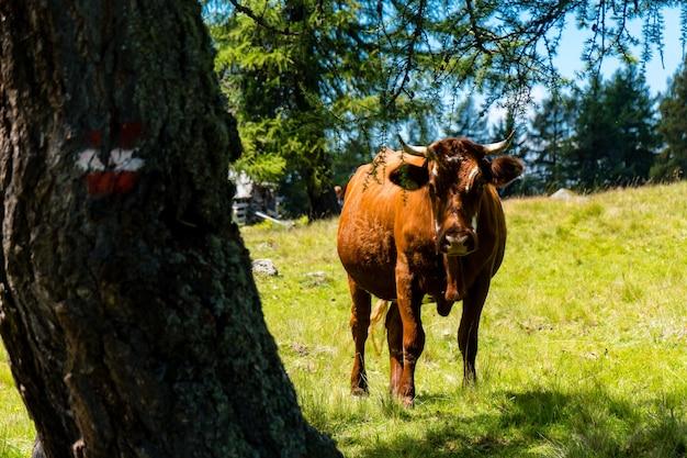 Close de uma vaca com chifres ao lado de uma árvore em um campo gramado em um dia ensolarado