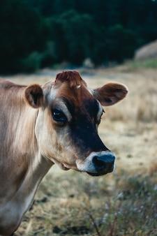 Close de uma vaca marrom em um campo