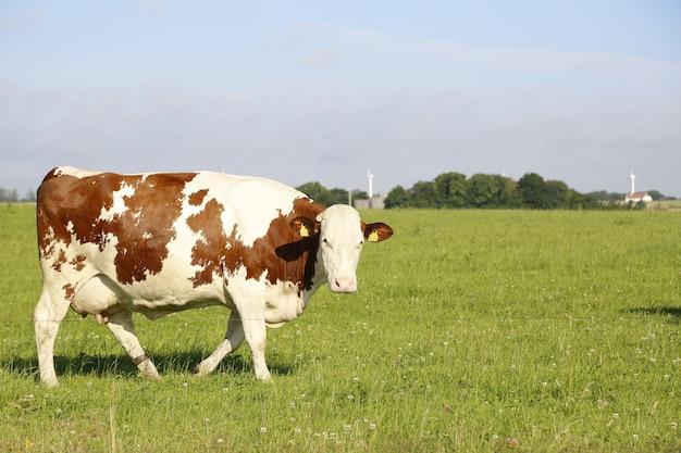 Close de uma vaca pastando em um campo em uma tarde ensolarada