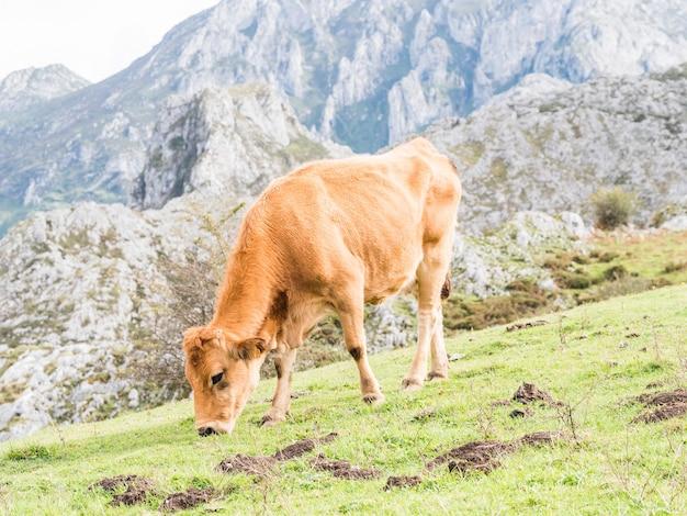 Close de uma vaca pastando em um campo nos lagos covadonga, espanha