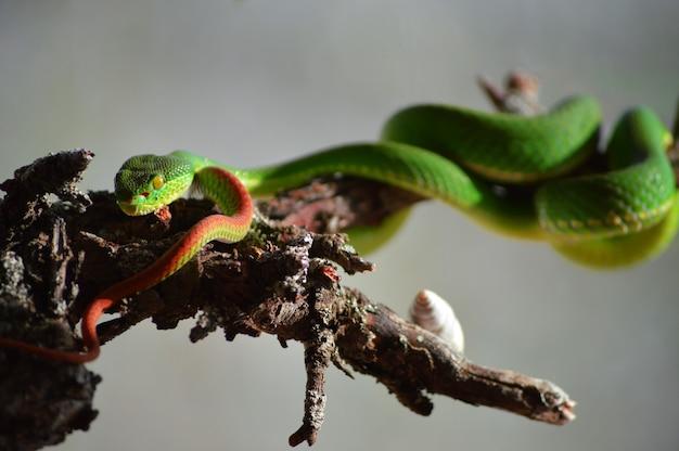 Close de uma víbora venenosa de lábios brancos, também conhecida como trimeresurus albolabris em latim