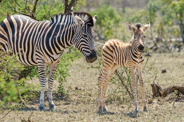 Close de uma zebra adulta e juvenil cercada por árvores e vegetação
