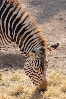 Close de uma zebra comendo feno em um zoológico com uma bela exibição de listras