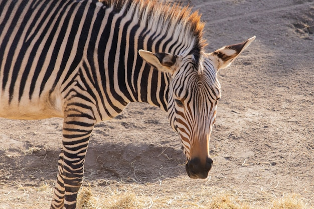 Close de uma zebra comendo feno em um zoológico