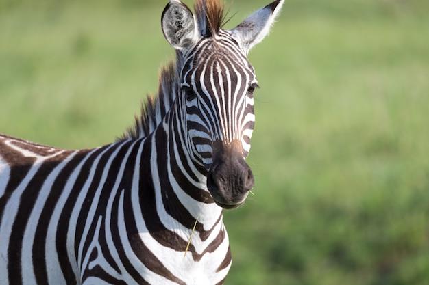 Close de uma zebra em um parque nacional