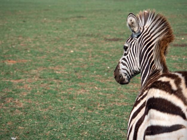 Close de uma zebra em um zoológico