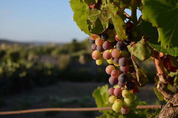 Close de uvas em uma árvore em um vinhedo sob a luz do sol em malta