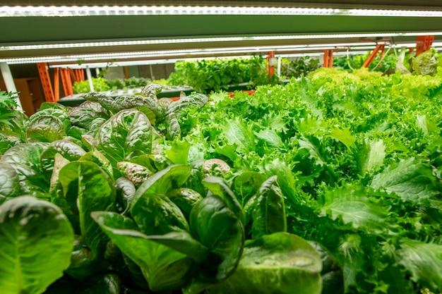 Close de vários tipos de verduras com diferentes formas de folhas crescendo sob uma lâmpada led em uma fazenda vertical