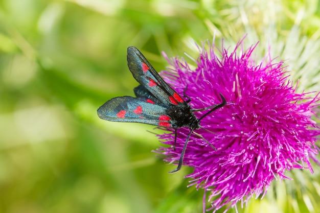 Close de zygaenidae, borboleta no cardo rosa procurando comida