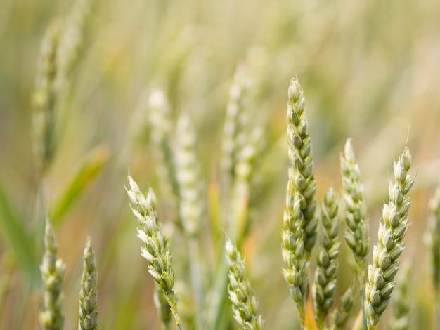 Close do campo de trigo fora de foco
