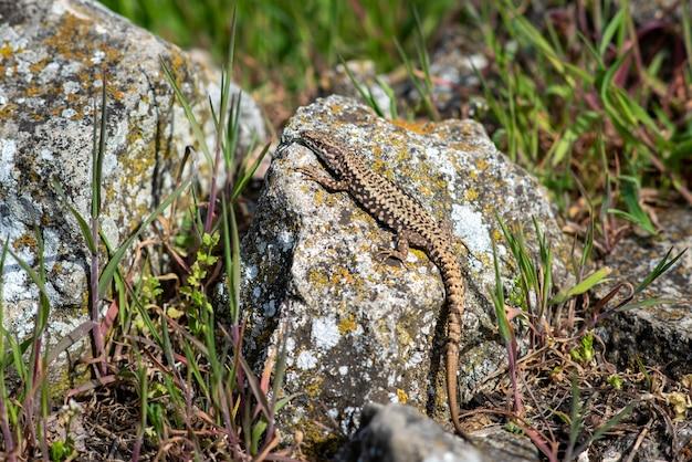 Close do colorido lagarto exótico na rocha coberto de líquen na natureza