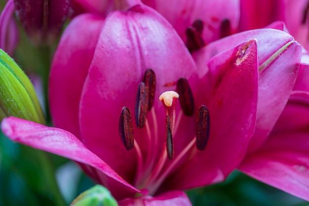 Close do estame e pistilo de uma linda flor de lírio vermelho, macro