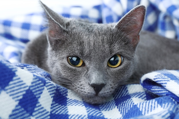 Close do gato no cobertor roxo