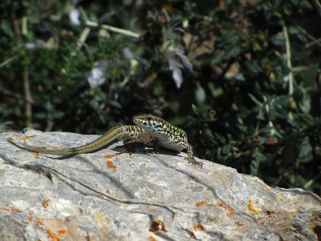 Close do lagarto da parede de malta em uma rocha sob a luz do sol em malta