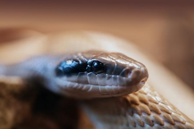 Close do olho de cobra, foto macro de cobra python no zoológico terrário, close-up da cabeça do réptil