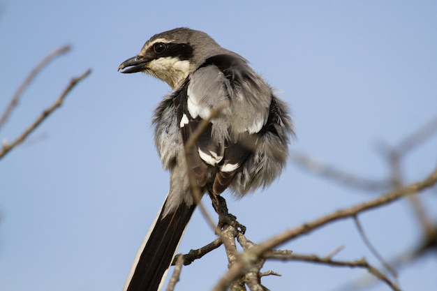 Close do picanço cinza empoleirado em um galho de árvore