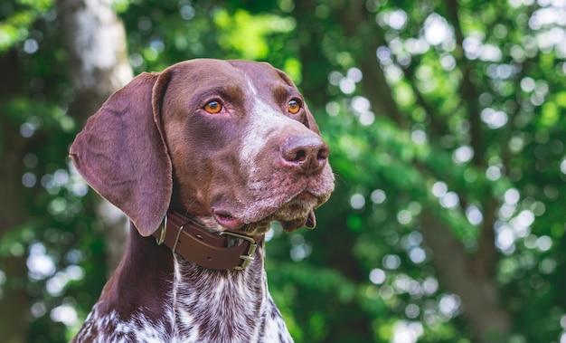 Close do retrato de um ponteiro alemão de pêlo curto de raça de cachorro contra árvores verdes na floresta