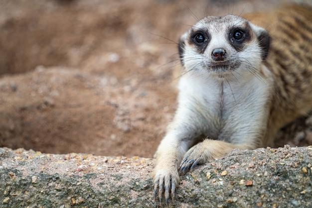 Close do rosto de suricato