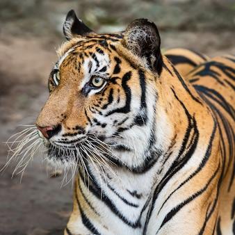 Close do rosto de um tigre.