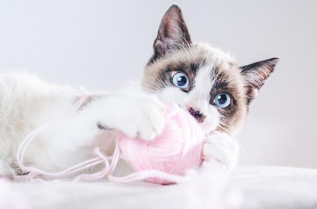 Close do rosto marrom e branco de um lindo gato de olhos azuis brincando com uma bola de lã