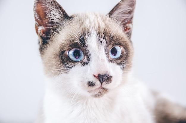 Close do rosto marrom e branco de um lindo gato de olhos azuis