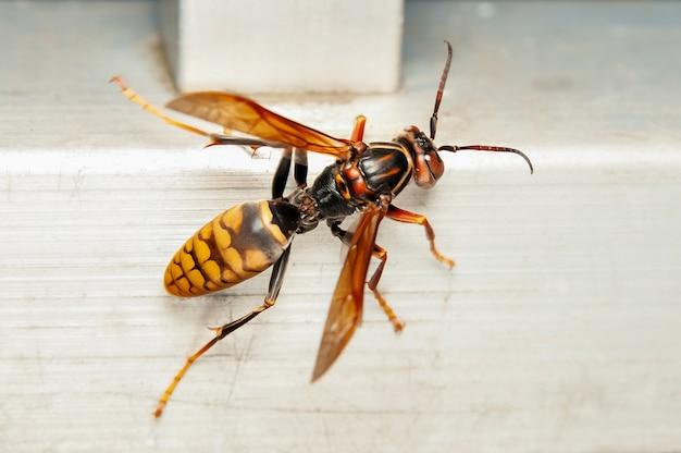 Close do vespão gigante asiático ou vespa gigante japonês vespa mandarinia japonica em japonês, é conhecido como oosuzumebachi, literalmente abelha pardal gigante