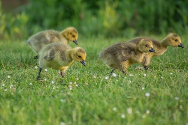 Close dos patinhos amarelos fofos no gramado